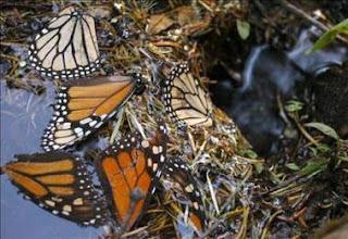 El vuelo en distancias largas da la forma a las alas de las mariposas monarca