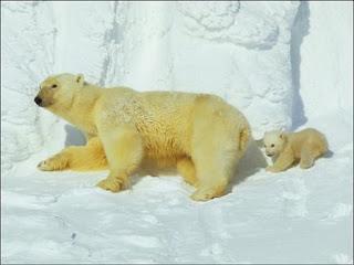 El oso polar, amenazado por el cambio climático, lleva 150.000 años en el Ártico