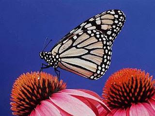 Las mariposas europeas, en peligro