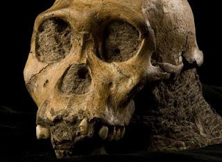Cráneo del esqueleto del Australopithecus sediba encontrado en Sudáfrica. Science