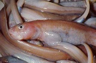 Ejemplar del nuevo pez antártico Gosztonyia antarctica. Jesús Matallanas