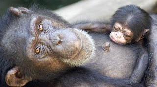 Los monos detectan las oportunidades perdidas y aprenden de sus errores