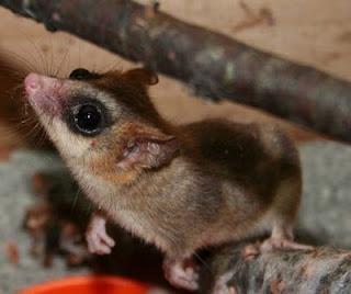 El estudio del monito del monte aporta luz sobre la evolución de los mamíferos. EFE