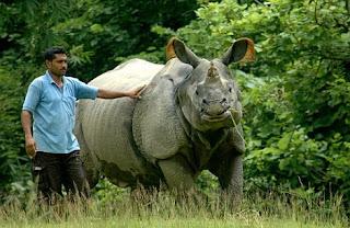 Un rinoceronte indio en cautividad junto a su cuidador. AFP