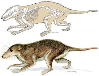 Reconstrucción artística del esqueleto y el cuerpo del nuevo mamífero. Science
