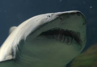 Ecologistas alertan de que casi la mitad de los tiburones del Mediterráneo están amenazados