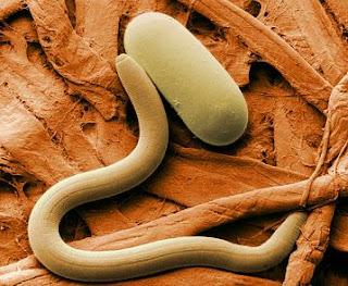Convierten a un gusano hembra en hermafrodita