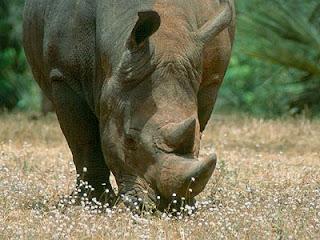 Última oportunidad del rinoceronte blanco