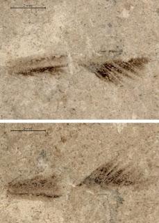 Descubren una pluma de saurio de 150 millones de años en el sur de Alemania