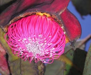 Flor de Eucaliptus brandiana | Kew Garden