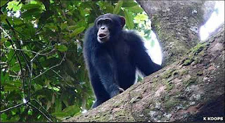 Los primates del monte Nimba, en Guinea, África Occidental, utilizan hachas de madera y piedra