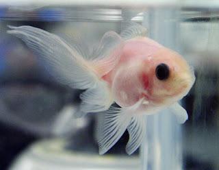 El pez transparente creado por científicos japoneses. AFP