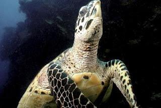 Una tortuga carey en un coral de las islas Fiji. EFE