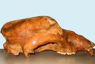 Cráneo de 'Ursus spelaeus' encontrado en Lugo. Grandal et al.