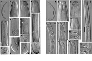 Descubren dos nuevos gusanos microscópicos en Vietnam