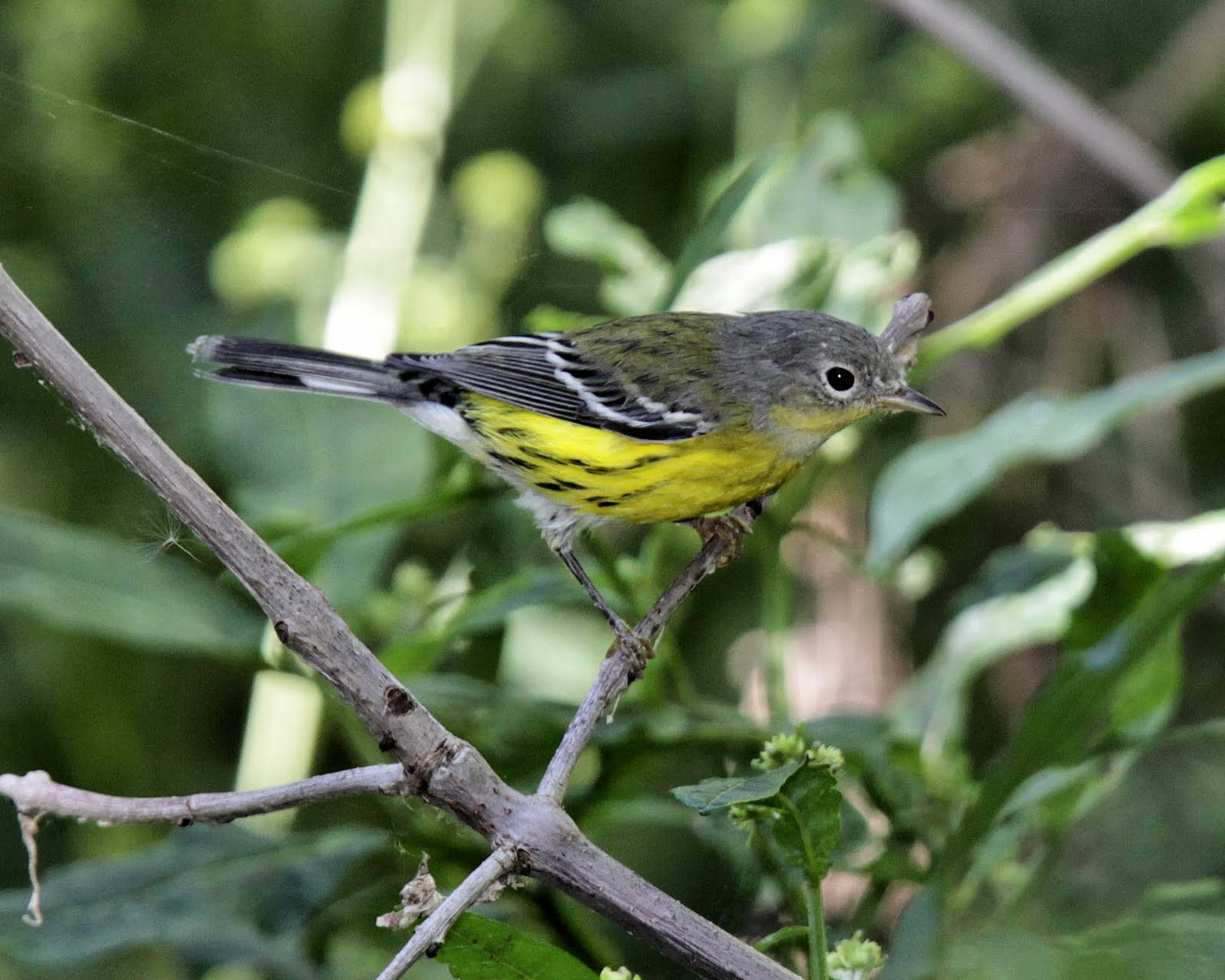 magnolia warbler fall - photo #22