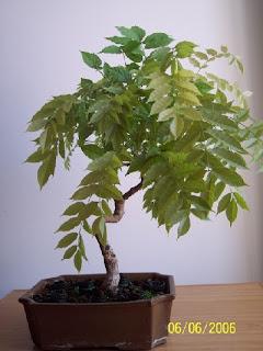 Bonsai amateur glicinia de acodo cambio radical - Glicinia en maceta ...