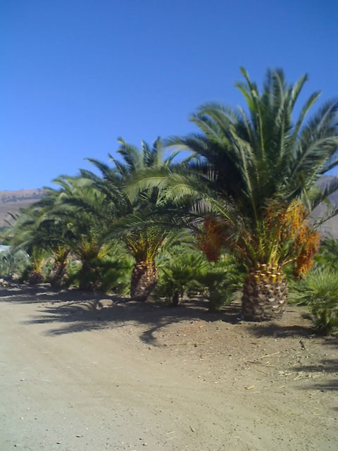 canary date palm tree. Orange County Palm Tree Grower