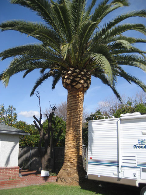 canary date palm tree. WANTED: Canary Island Palm