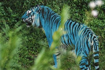 The tiger is one of the most popular animals in