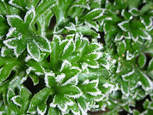 Trusty ole frost hardy parsley