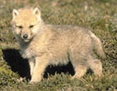 http://4.bp.blogspot.com/_D7J9FMJotjg/SPgH8hpjfII/AAAAAAAAAC8/7yxf3nhYY6Y/s320/wolf_pup1.jpg