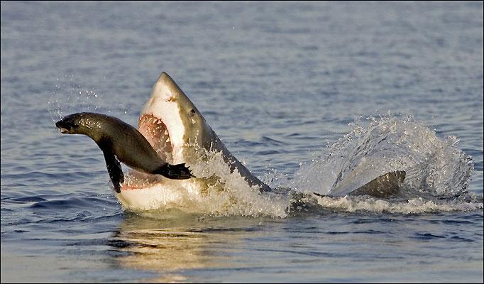 Great White Shark Adaptations | Great White Sharks Adaptations
