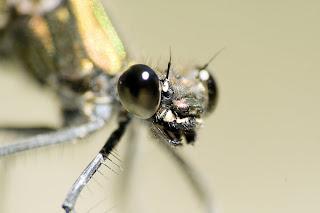 Para ampliar Calopteryx virgo hacer clic