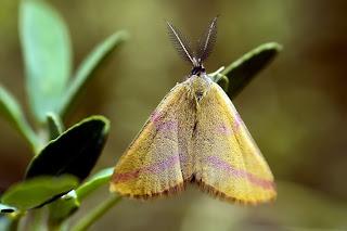 Para ampliar Lythria purpuraria hacer clic