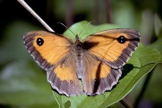 Para ampliar Pyronia tithonus hacer clic