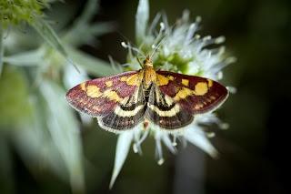 Para ampliar Pyrausta purpuralis hacer clic