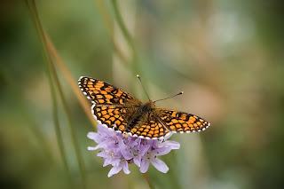 Para ampliar Melitaea athalia (Doncella común) hacer clic