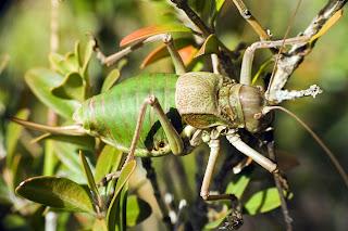 Para ampliar Synephippius obvius (Grillo de matorral, chicharra) hacer clic