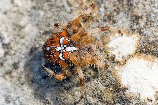 Para ampliar Araneus pallidus, hacer clic