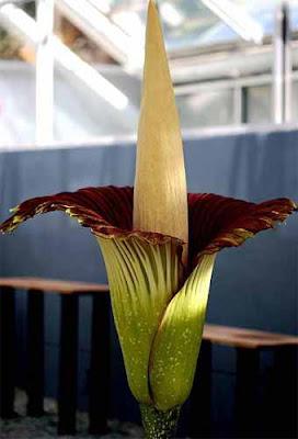 屍花 寄生植物 - 世界上最大型花種屍花 寄生植物