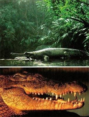 魔鬼巨鱷 恐龍 - 魔鬼巨鱷 捕食各種類型的恐龍
