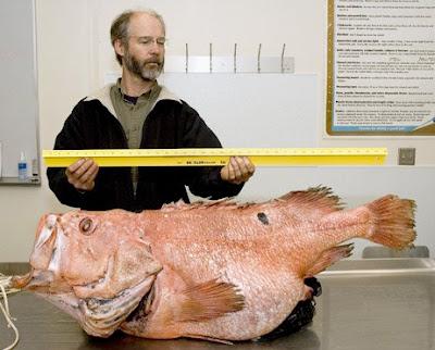 阿拉斯加 百歲老魚 - 阿拉斯加捕獲(157歲)百歲老魚