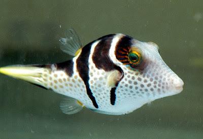 暴牙怪魚 - 暴牙怪魚 星斑叉鼻魨