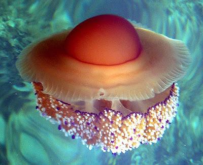 荷包蛋水母 - 瑞士荷包蛋水母