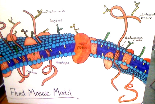 Diagram of the fluid mosaic model all kind of wiring diagrams biology 101 fluid mosaic diagram rh 2desilou83 blogspot com diagram of membrane fluid mosaic model diagram 31 the fluid mosaic model ccuart Image collections