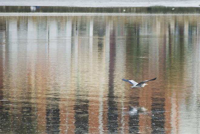 O voo da garça sobre o espelho da cidade - Baía do Seixal