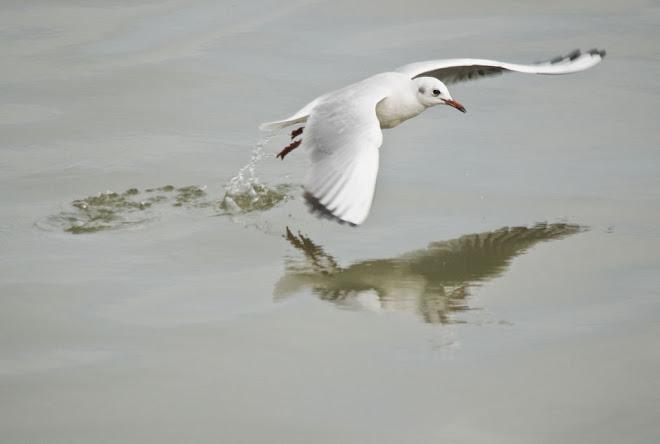 Gaivotas e Reflexos 1 - Baía do Seixal
