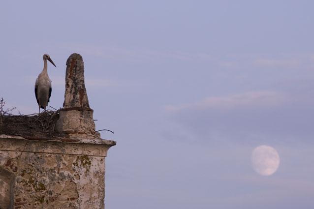 Cegonha no Ninho ao crepúsculo - Alcácer do Sal