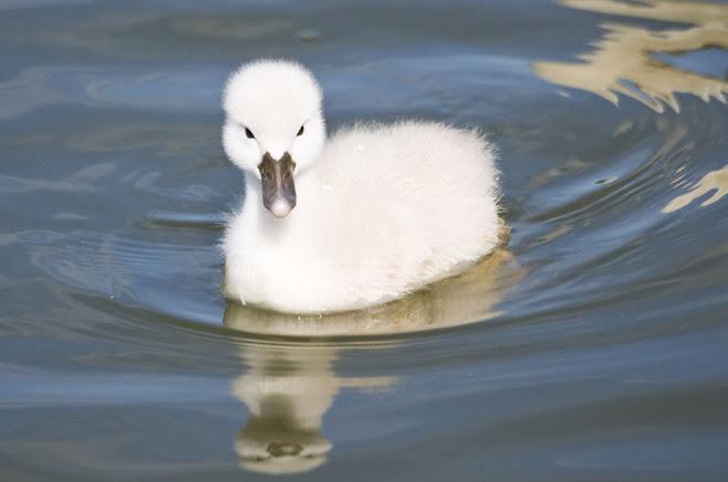 O pequeno cisne 2 - Parque da Paz, Almada