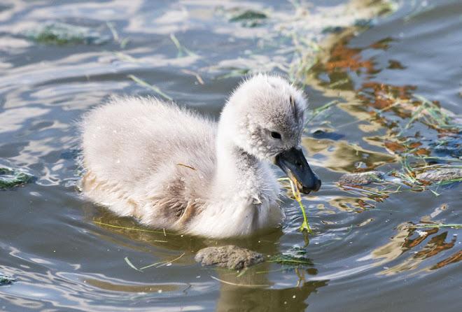 O pequeno cisne 4 - Parque da Paz, Almada