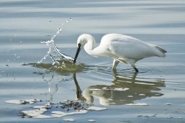 Pescando o alimento - Garças, Baía do Seixal