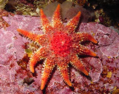 estrella de mar. de la estrella de mar está