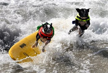Surfing Dogs - Copyright LA Times