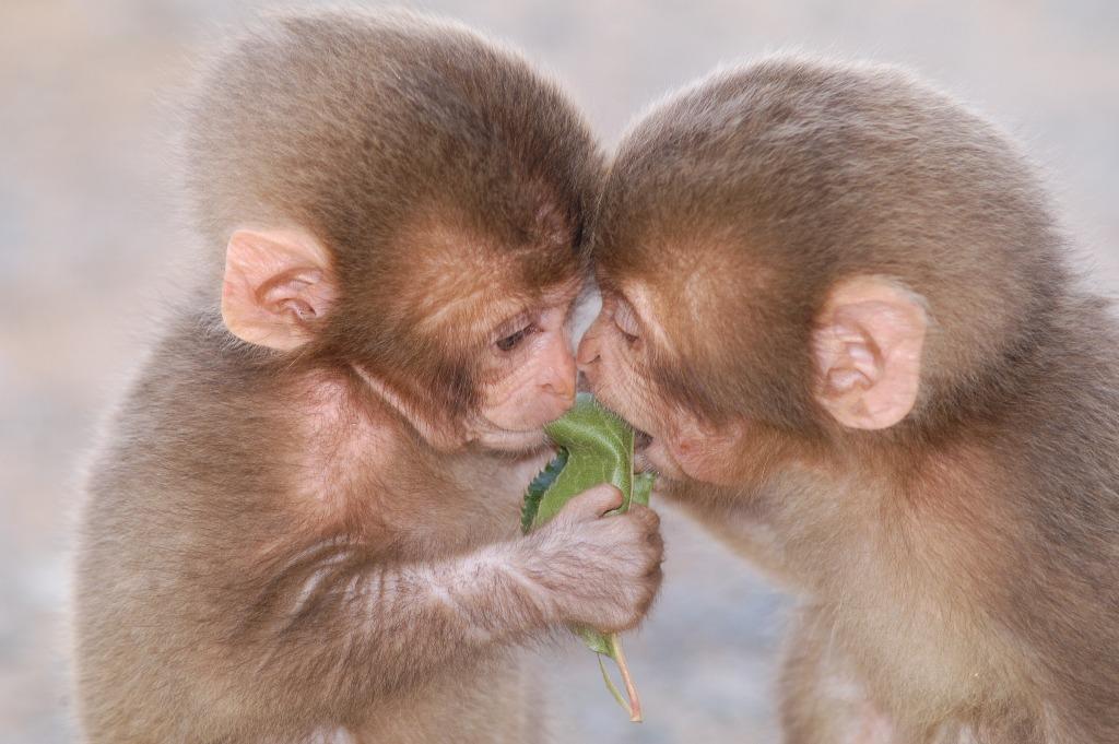 Iwatayama Monkey Park The Family Travel Blog