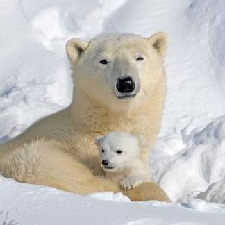dad and mom polar bears